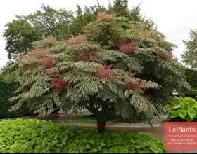 Аралия висока (аралія маньджурская, чортове дерево) фото