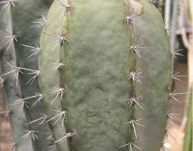 Арматоцереус яскравий фото