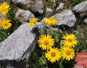 Арніка гірська фото