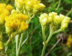 Безсмертник, цмин, геліхрізум (helichrysum) фото