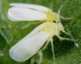 Що собою являє белокрилка на кімнатних рослинах і як боротися з нею? фото