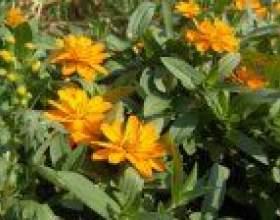 Ціннія (zinnia) фото