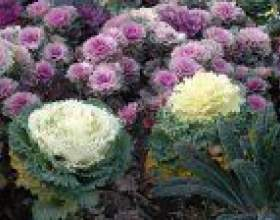 Декоративна капуста - овоч або квітка? фото