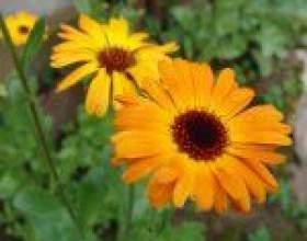 Діморфотека, або злакоцвет помаранчевий, капські нігтики (dimorphotheca) фото