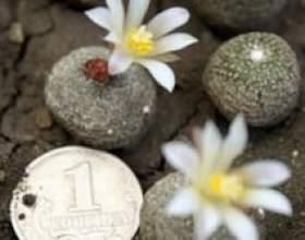 Домашні кактуси і догляд за ними фото