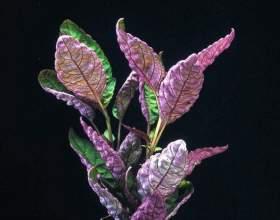 Геміграфіс пофарбований фото