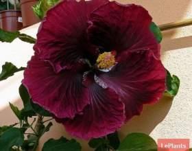 Гібіскус китайський (китайська троянда) фото