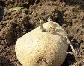 Готуємо картопля до посадки фото