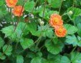 Гравилат (geum) - сем. Розоцвіті (rosaceae) фото