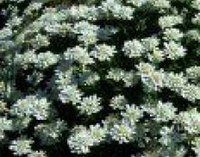 Іберіс, або стенников (iberis) фото