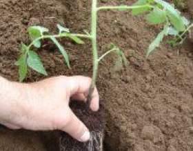 Як правильно висадити розсаду томатів фото