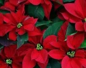 Як вибрати і доглядати за квіткою «різдвяна зірка» в домашніх умовах? Цінні поради. фото