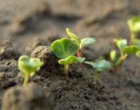 Як виростити насіння салату і редиски фото
