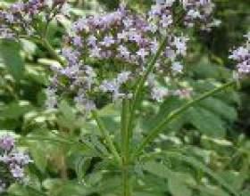 """Які лікарські рослини збираємо у вересні С""""РѕС'Рѕ"""