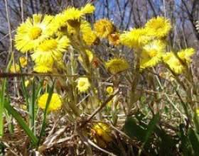 """Які лікарські рослини збирати в травні С""""РѕС'Рѕ"""