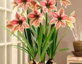 Який потрібен догляд квітці «гіппеаструм» в домашніх умовах? Чому він не цвіте? фото