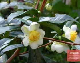 Камелія китайська (чайний кущ) фото