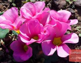 Кислиця пурпурна фото