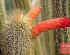 Клейстокактус тупісійскій фото
