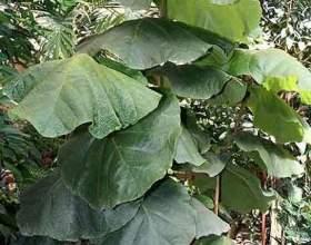 Кокколоба опушена (кокколоба крупнолистового) фото