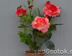 Кімнатні троянди - сорту, догляд фото