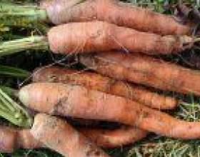 Морква. Хвороби і шкідники фото