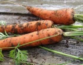 Морква: сорти та гібриди фото