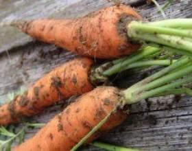 Морква. Сорти і підготовка насіння до сівби фото
