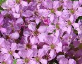 Мильнянка, або сапонарія (saponaria) фото