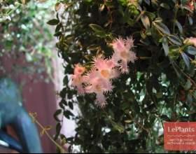 Неомортонія рожева фото