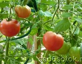 Помідори (томати) - опис, особливості фото