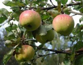 Допомога фруктовому саду фото
