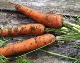 Посіємо морква правильно і в строк фото
