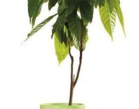 Теоброма (какао) фото