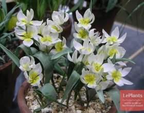 Тюльпан двоквітковий фото