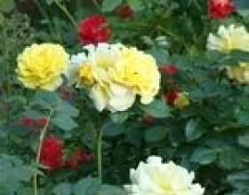 Добриво квітучих багаторічників фото