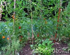 Догляд за помідорами у відкритому грунті фото