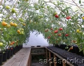 Догляд за помідорами в теплицях фото