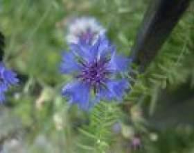 Волошка, центаурея (centaurea) фото